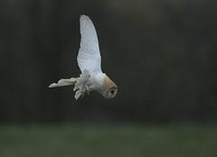 HolderBarn Owl
