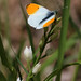 Orange-tip on Sword Leaved Heleborine (Jim Higham)