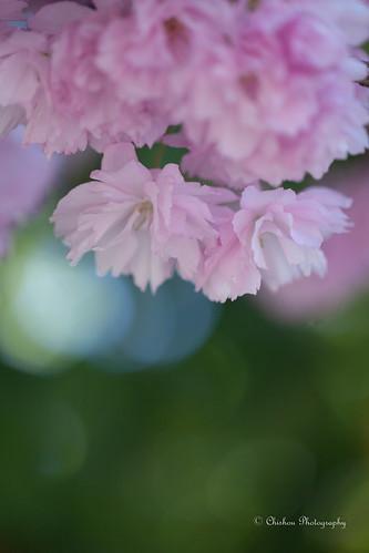 桜(Cherry Blossoms)〜2017