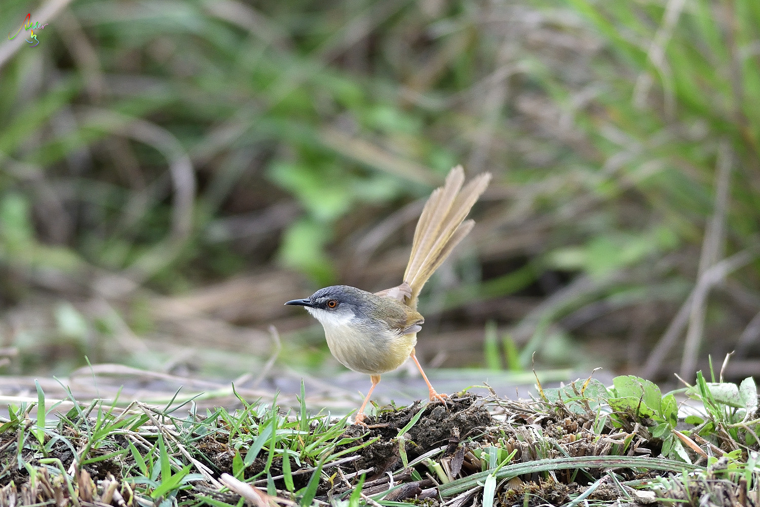 Yellow-bellied_Prinia_3061