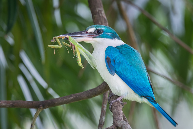Collared Kingfisher with prey