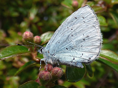 HolderHolly Blue