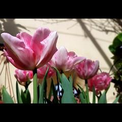 Insieme   Nascono bianchi, piccoli, ma bisogna aspettare. Hanno i loro tempi, ma poi, regalano bellezza. #tulipani #tulips:tulip:  #spring #foxtrot