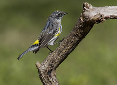 Yellow-rumped Warbler, molting