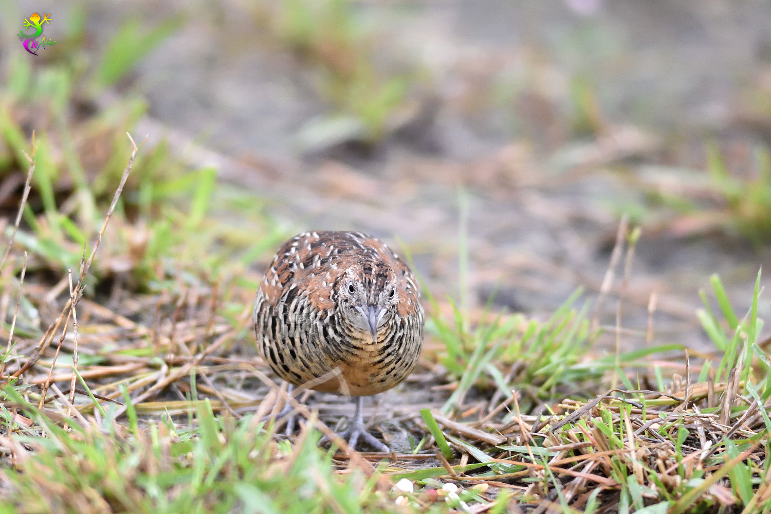 Barred_Buttonquail_9020