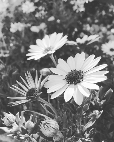 Margaritas! #herencia #ciudadreal #flowers #flores #instalove #igersciudadreal #flowerlover #igers #flowerporn #phototheday #love_natura #white #flowerlife