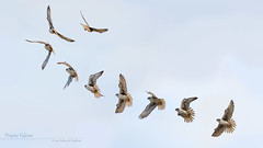 Prairie Falcon Flight