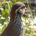 Small photo of Red-legged partridge (Alectoris rufa)