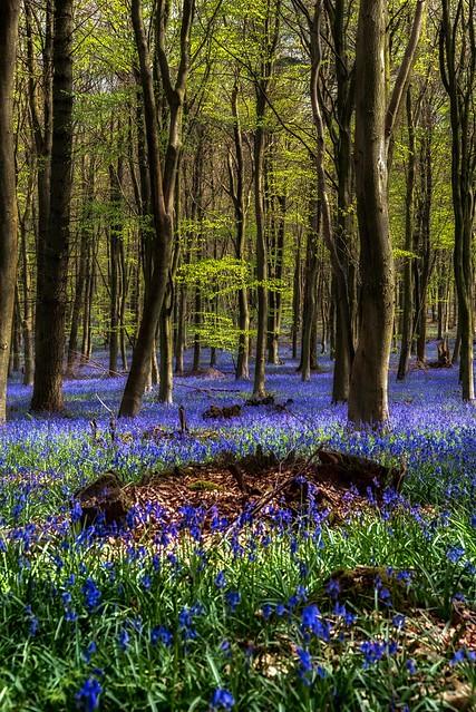 Kings Wood, Bluebells.