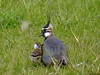 Lapwing with chick by Corine Bliek