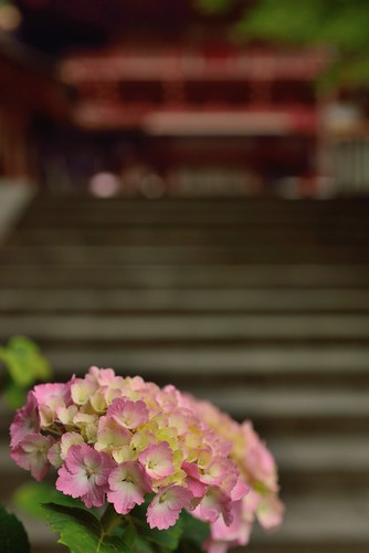 Hydrangea of Tanzan Shinto Shrine No.1.