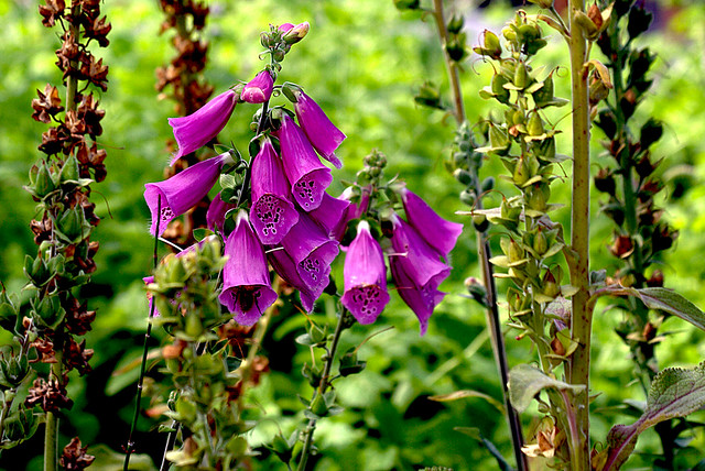 Image of Digitalis purpurea - Summer Plants in Broward County
