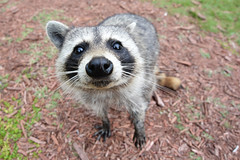 animal(1.0), raccoon(1.0), mammal(1.0), fauna(1.0), viverridae(1.0), black footed ferret(1.0), procyon(1.0), wildlife(1.0),