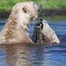 Arktos und Walker im Highland Wildlife Park 2013