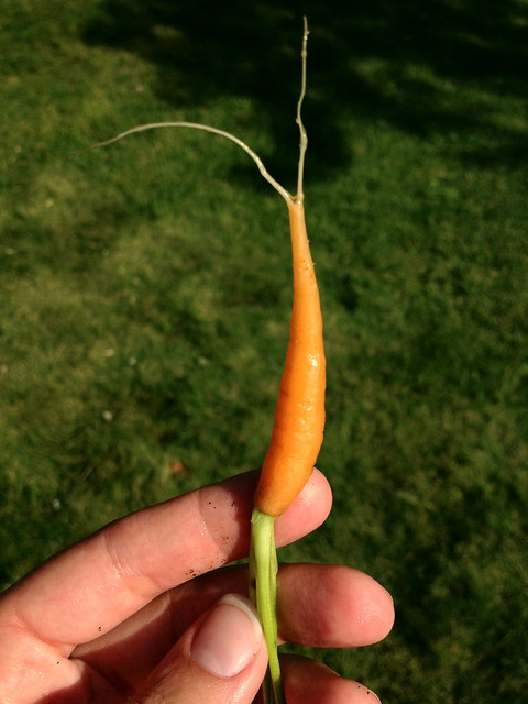 I need to thin my carrots. #project365