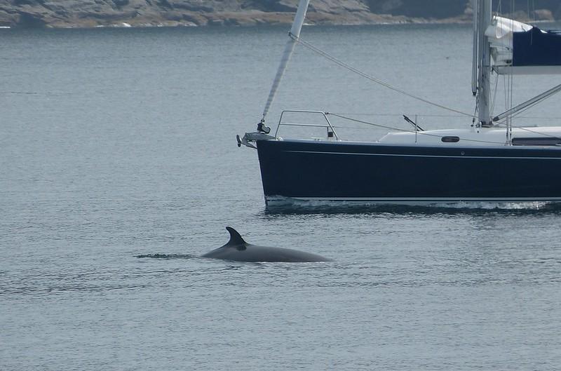 P1050480 - Minke Whale, Isle of Mull