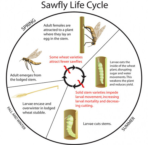 All aboard harvest megan sawfly sorrows sawfly lifecycle ccuart Image collections