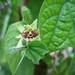 Passiflora conzattiana