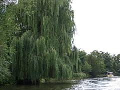River Avon willow tree