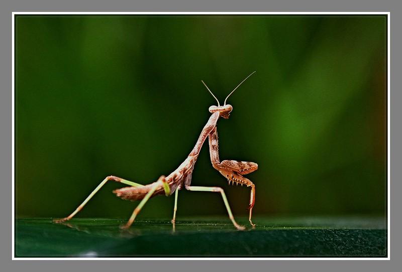 小螳螂_图1-2