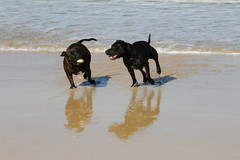 Staffies on the beach