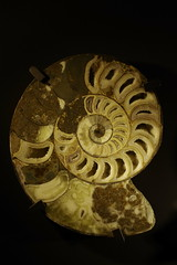 art, spiral, yellow, sculpture, invertebrate, macro photography, fossil, nautilida, close-up,