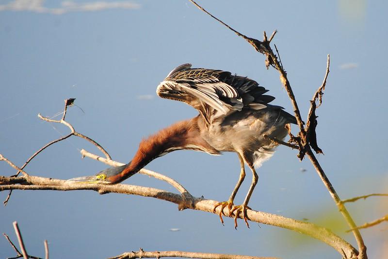 Green Heron (Зеленая цапля)