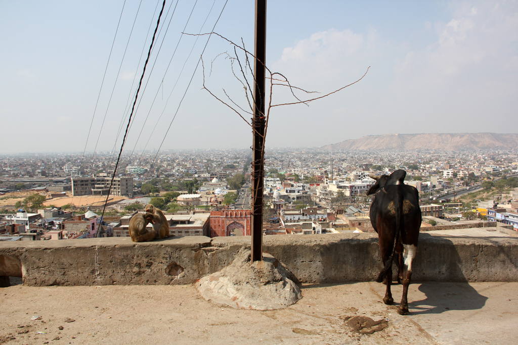 Monkeys, cows, and goats, enjoying the view of Jaipur