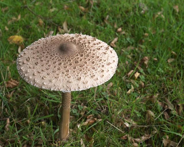 DSC_7170 Macrolepiota procera, Parasol mushroom