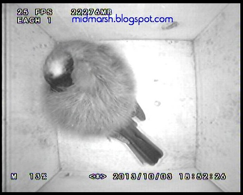 Great Tit Roosting in a Nestbox