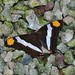 Small photo of Adelpha cf fessonia
