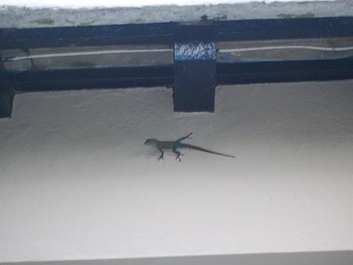 Lizards are a common sight in Bermuda.