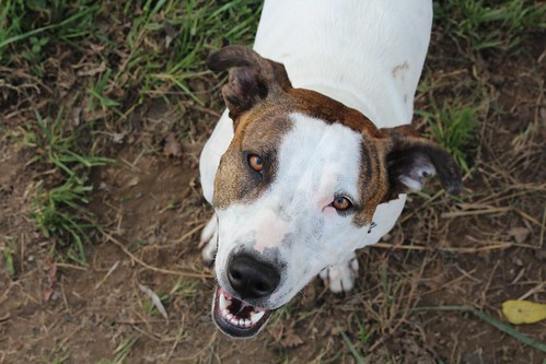 canon mix tn knoxville tennessee whippet germanshepherd t3i americanbulldog 600d