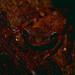 Oophagous Slender-legged Treefrog (Osteocephalus oophagus) ©berniedup