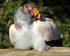 King Vulture by Buggers1962