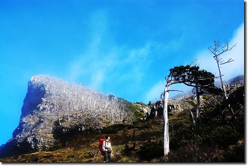 雪山南面坡白木林 7