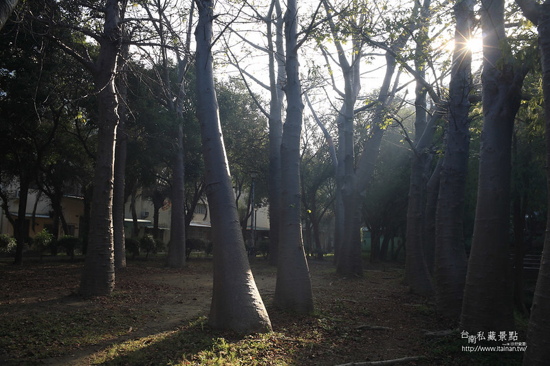 台南私藏景點--巴克禮落羽松 (9)