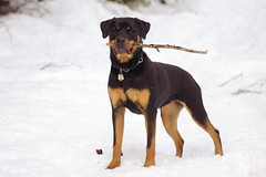 manchester terrier(0.0), dobermann(0.0), dog breed(1.0), animal(1.0), dog(1.0), german pinscher(1.0), pet(1.0), mammal(1.0), guard dog(1.0), pinscher(1.0), transylvanian hound(1.0), austrian black and tan hound(1.0), rottweiler(1.0), terrier(1.0),