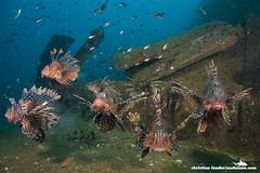 Lionfish on Tug Wreck - Sri Lanka-1