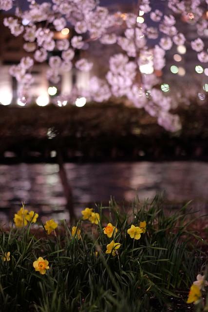 Sakura river reflection