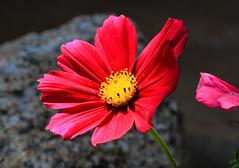 Red Cosmos Flower Macro