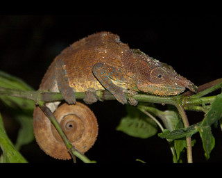 Blue Legged Chameleon