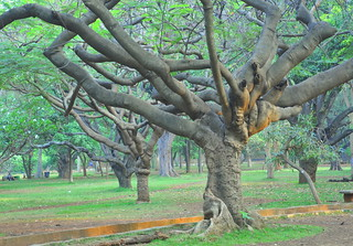 Amazing  Gulmohar trees