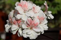 Pelargonium 'Unicorn Zonartic Spring'