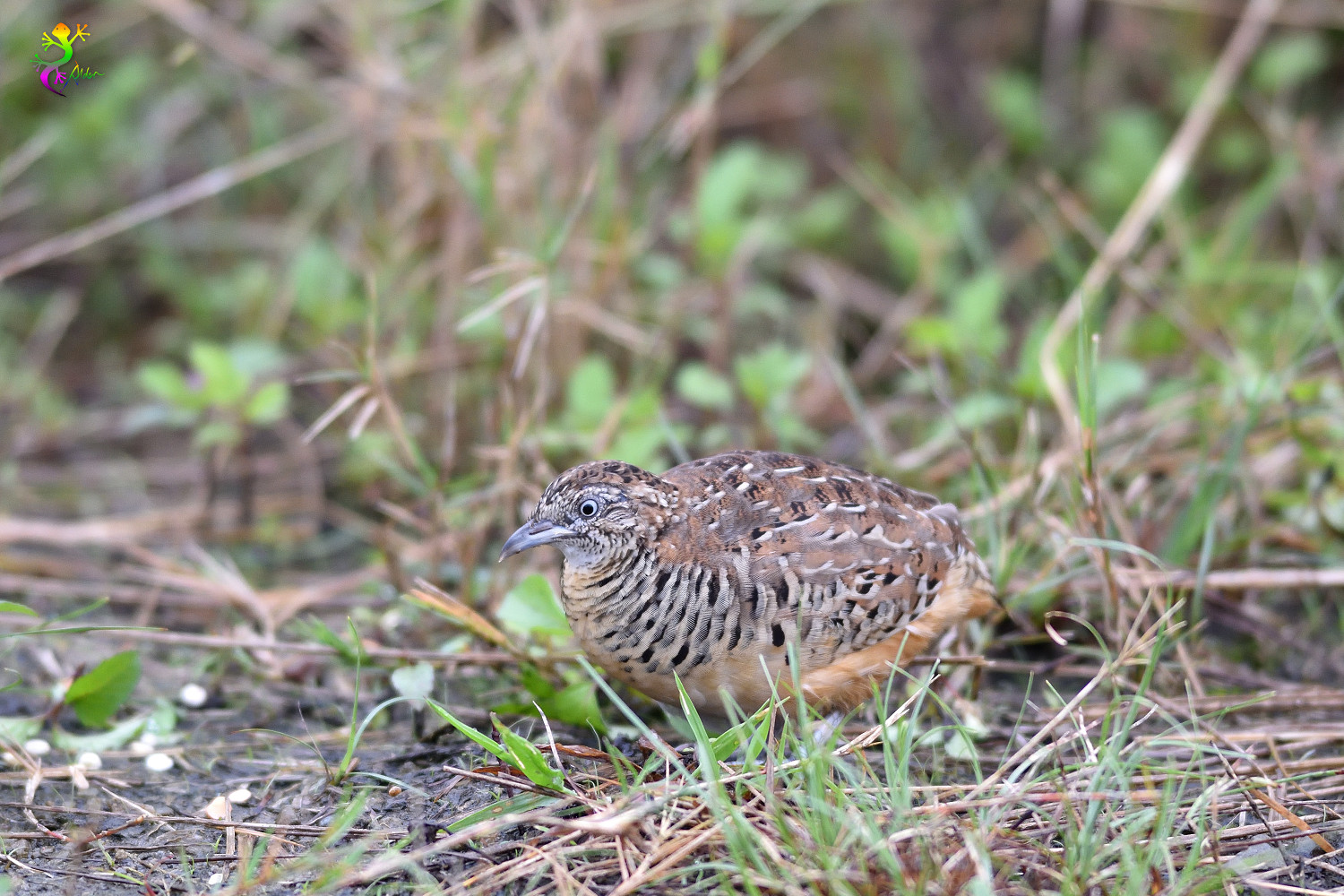 Barred_Buttonquail_9119