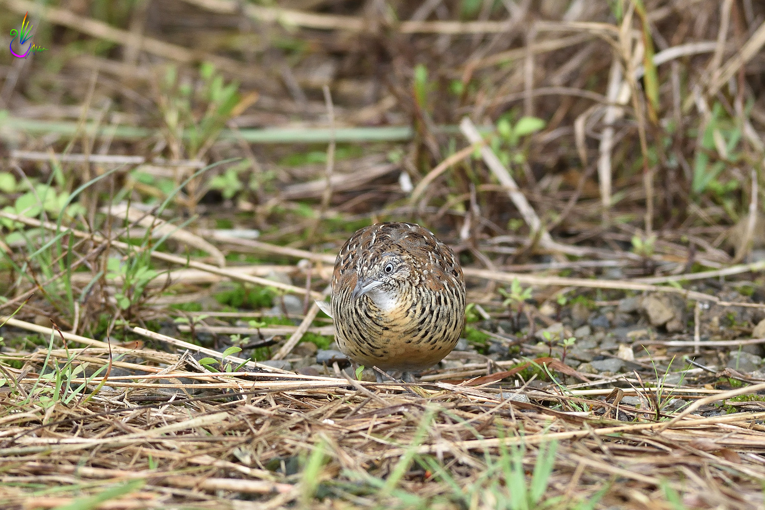 Barred_Buttonquail_7126