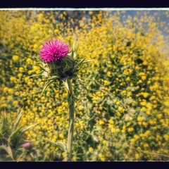 Thistle and background palette of mustard in flower. SoCal spring.   #thistle #mustardflowers #flower #photosbyjohncorney