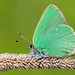 Callophrys rubi by Charaxes14