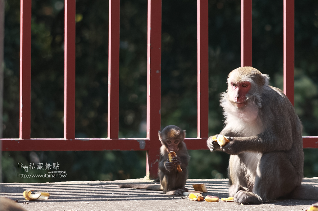 台灣獼猴 (25)