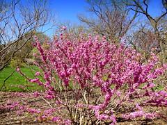 Chinese Redbud. Spring Awakening